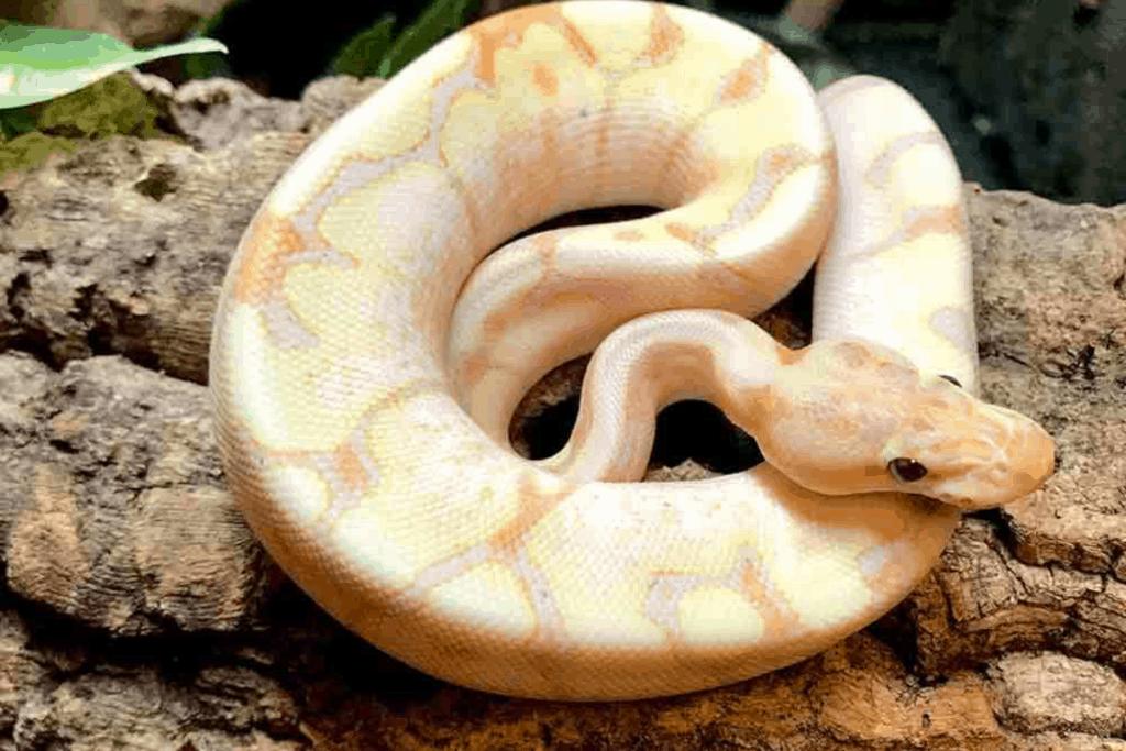 ball python morphs spider