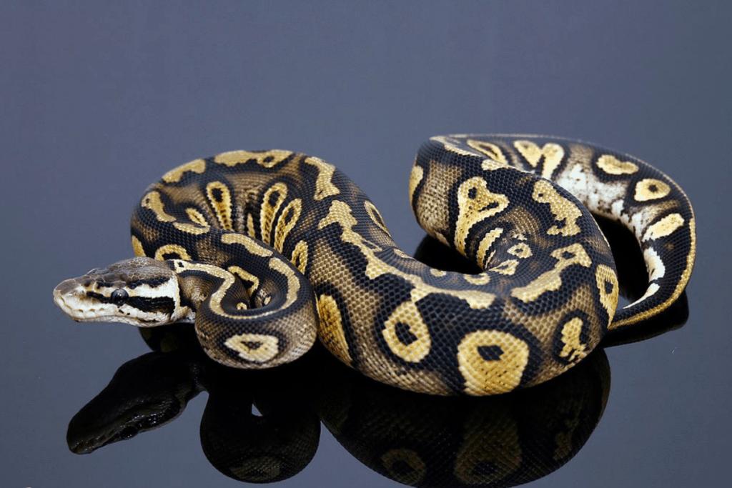 ball python morphs stranger
