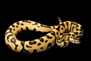 ball python morphs tiger