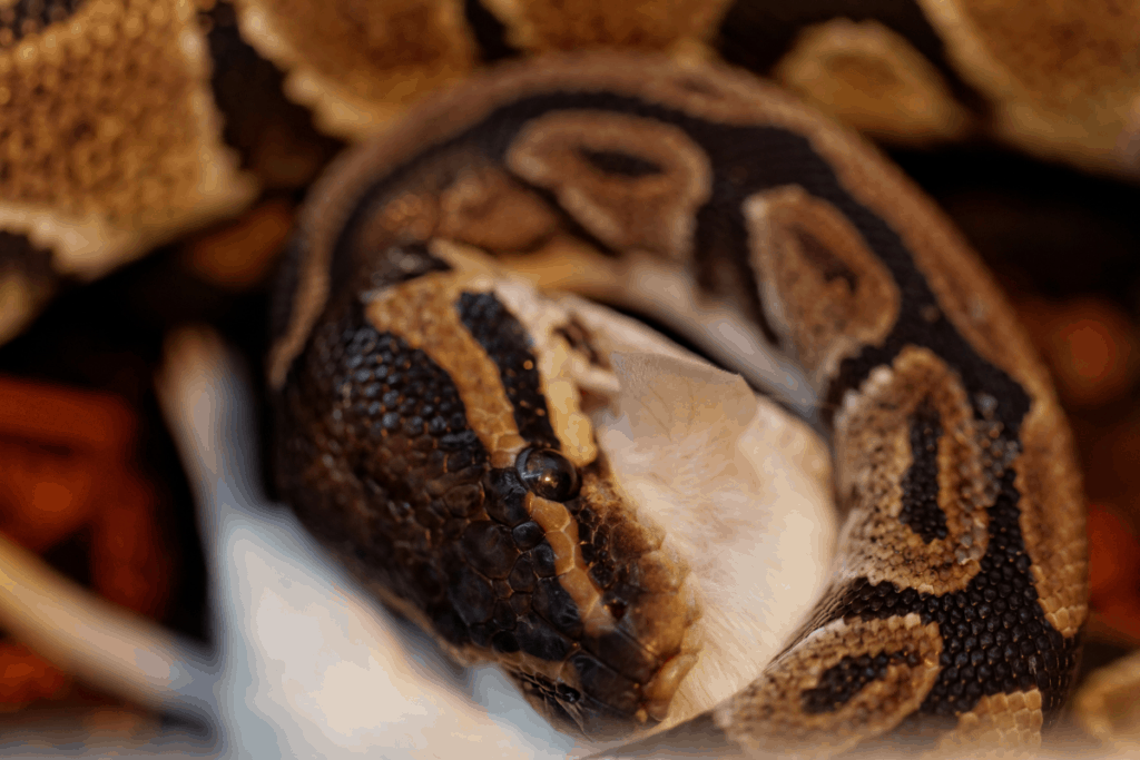 ball python yawning