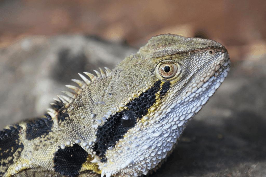 bearded dragon black spots