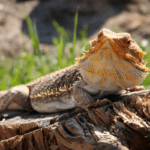 bearded dragon calcium guide 1
