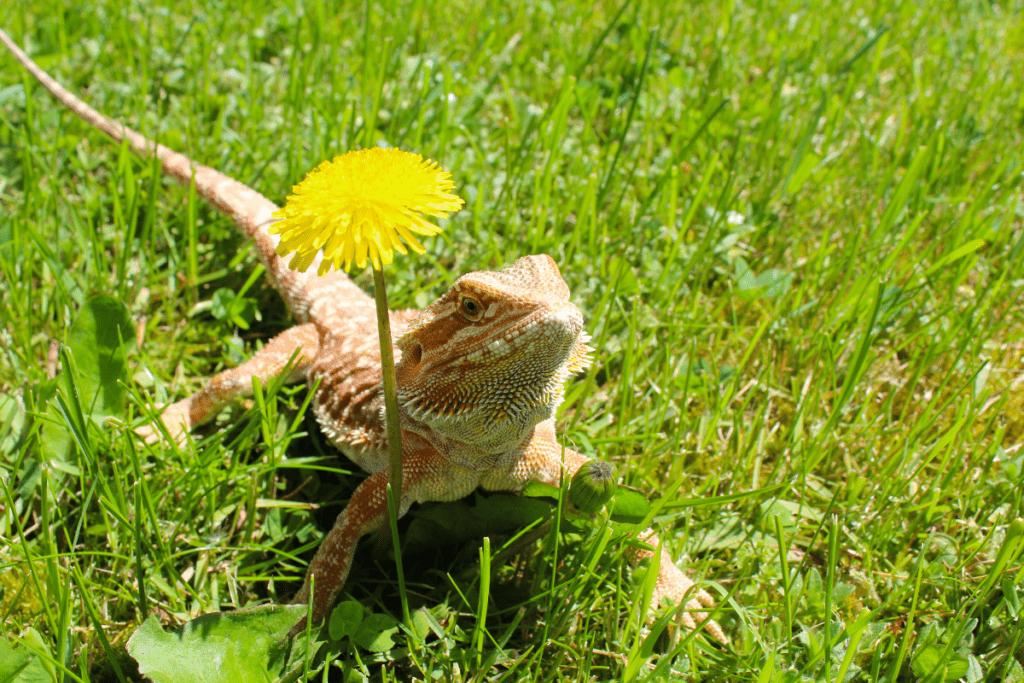 bearded dragon eating lizard