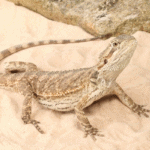 bearded dragon eating sand