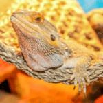 bearded dragon heating pad