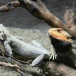 bearded dragon mating behavior
