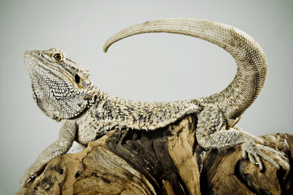 bearded dragon tail nip