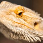 bearded dragon wont open eyes