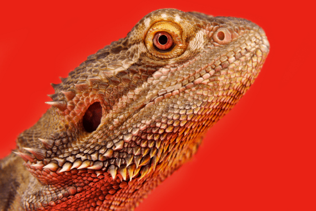 beared dragon red light