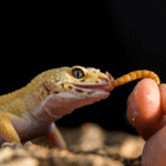 can you overfeed a leopard gecko