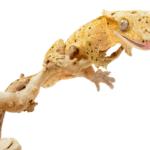 crested gecko cohabitation (1)
