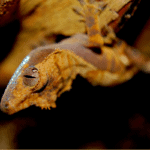 crested gecko fired up