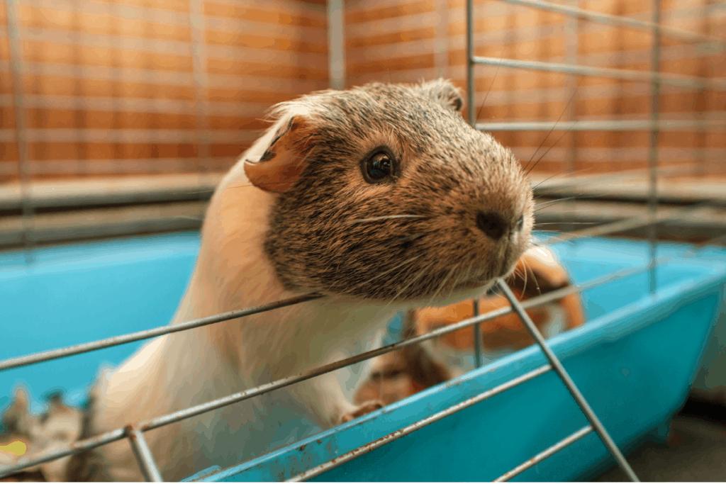 tableau des tailles des cages pour cochons d'inde