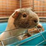 guinea pig cage size chart