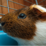 guinea pig chewing on cage