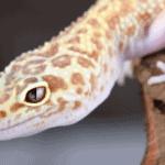 leopard gecko superworms