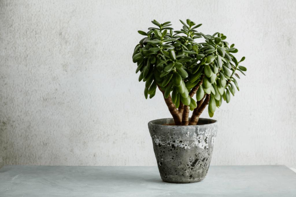 leopard gecko terrarium plants jade plant