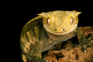 overweight crested gecko