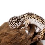 overweight leopard gecko