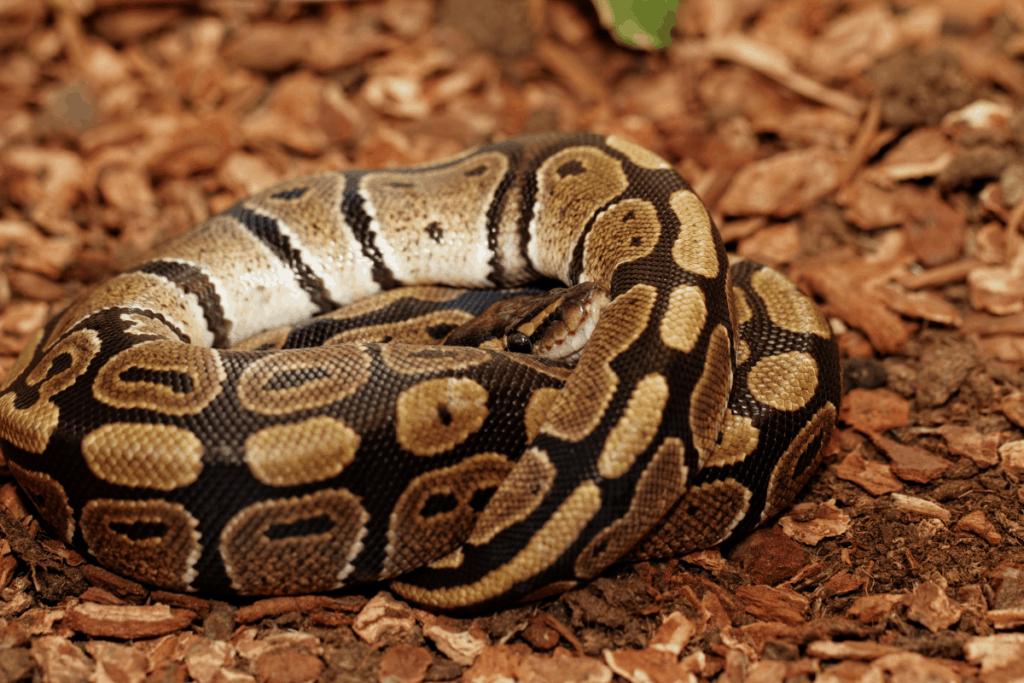 pastel ball python enclosure