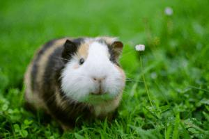 can you neuter a guinea pig