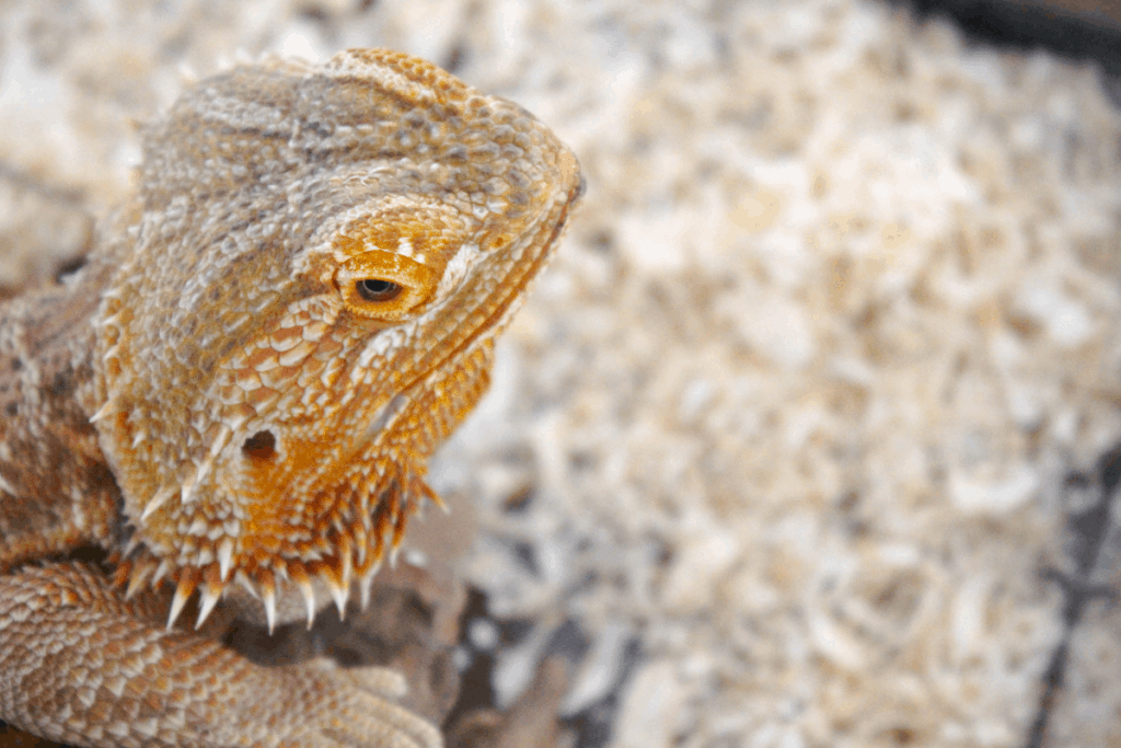 best bearded dragon breeder 2