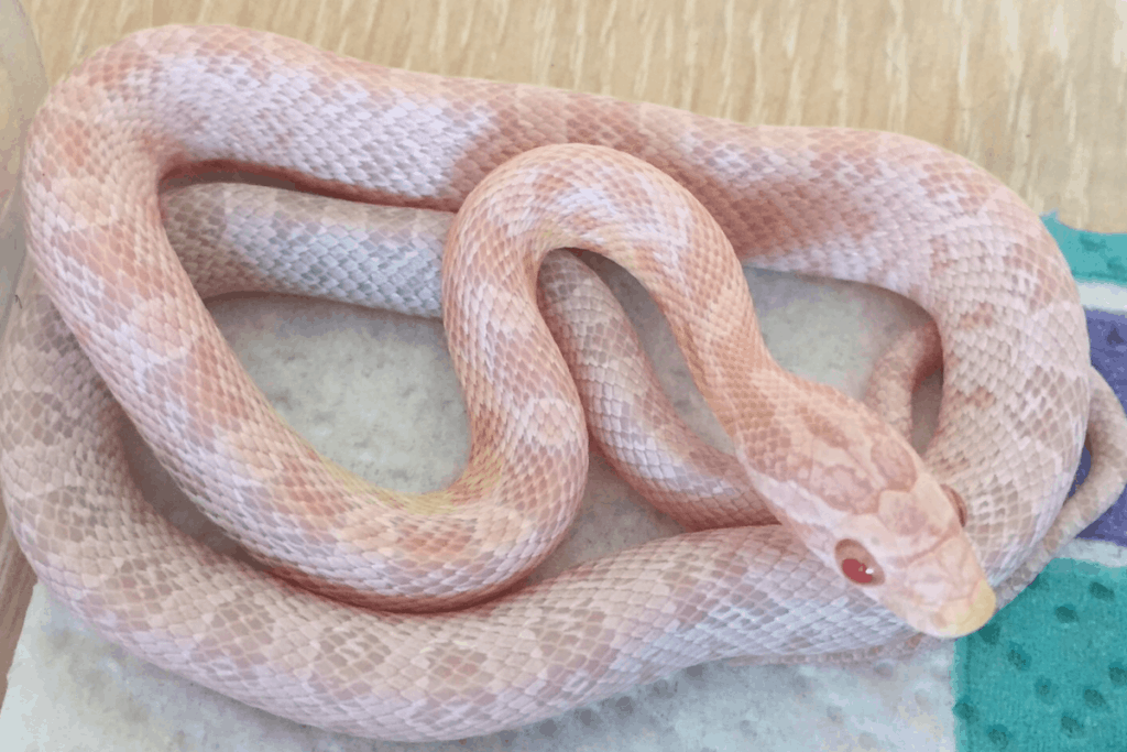 best corn snake morphs avalanche