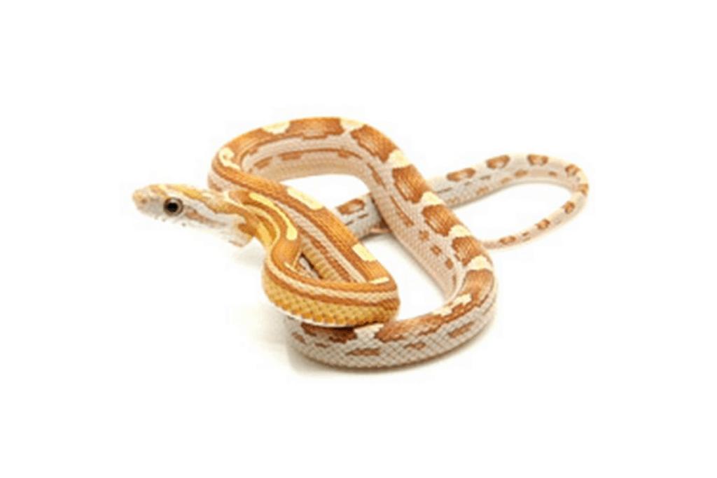 best corn snake morphs amber (1)