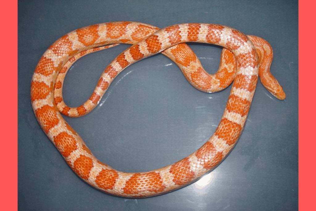 best corn snake morphs amelanistic