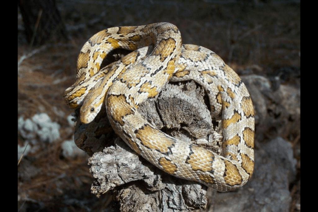 best corn snake morphs caramel