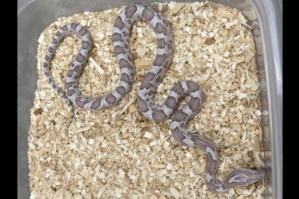 best corn snake morphs cinder