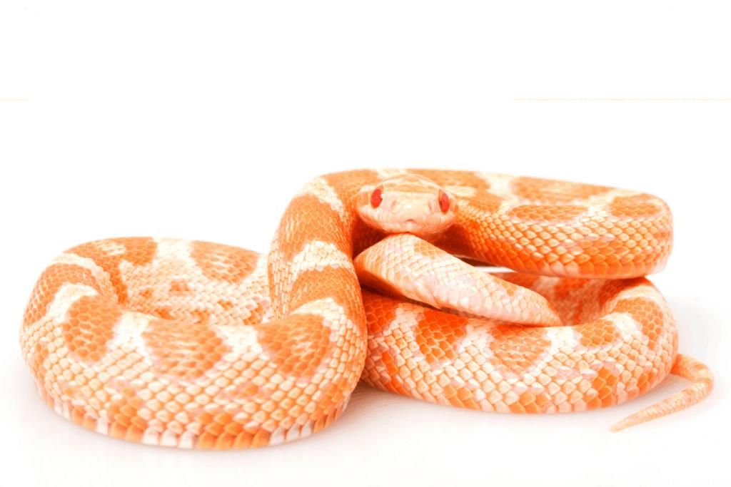 best corn snake morphs creamsicle
