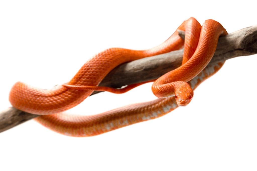 best corn snake morphs fire