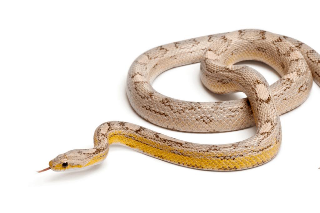 best corn snake morphs ghost
