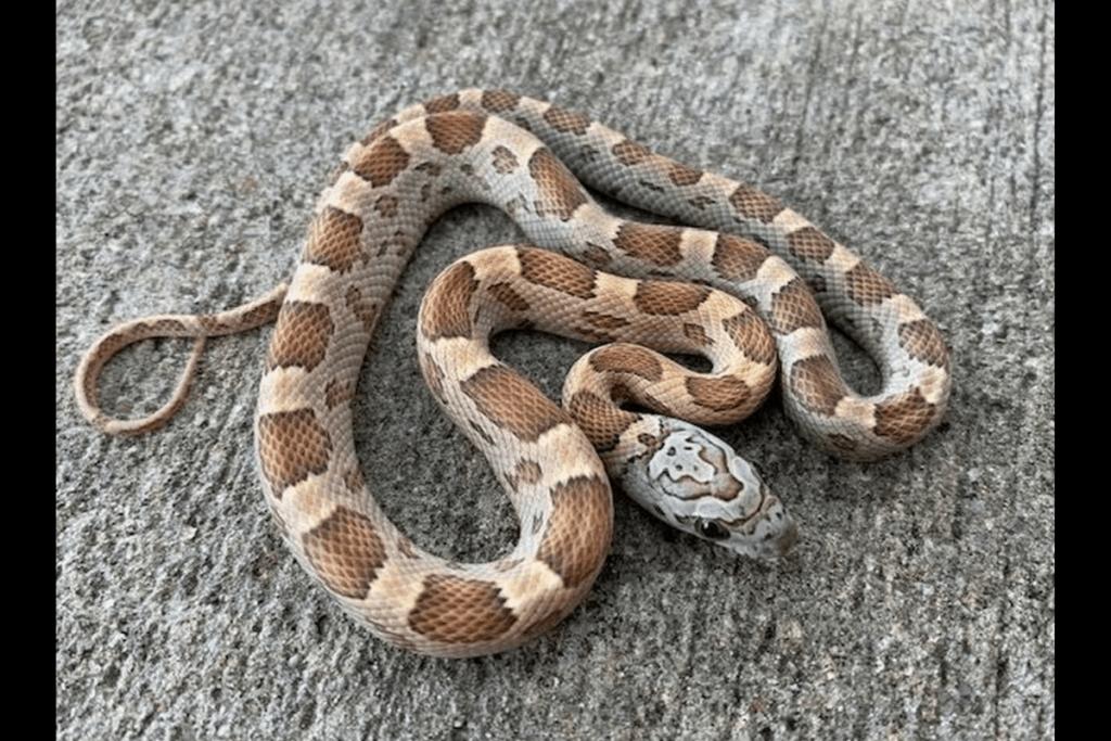 best corn snake morphs honey