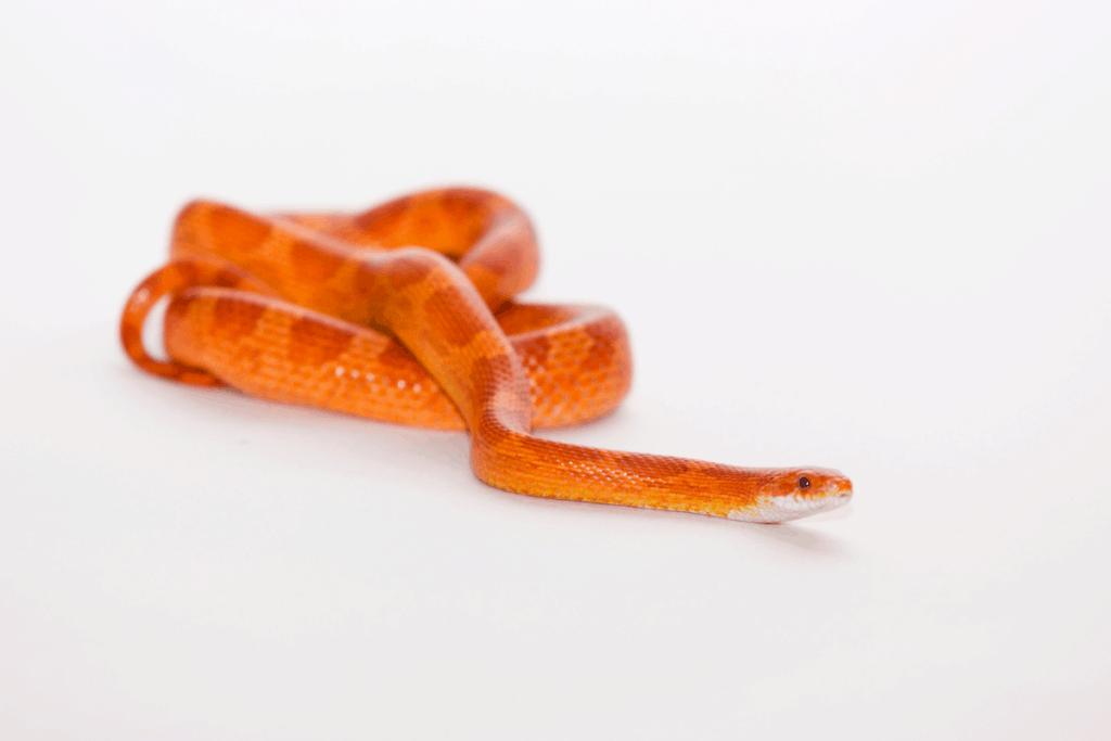 best corn snake morphs hypo