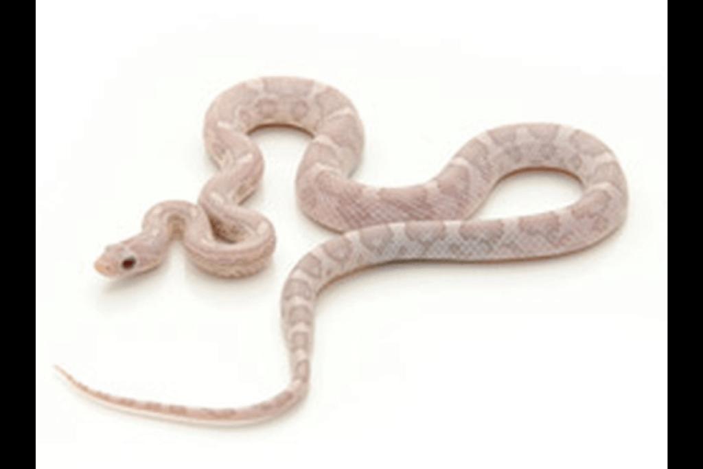 best corn snake morphs lavender