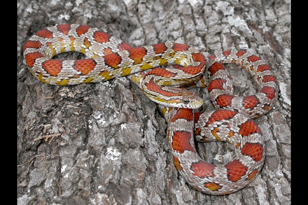 best corn snake morphs miami phase