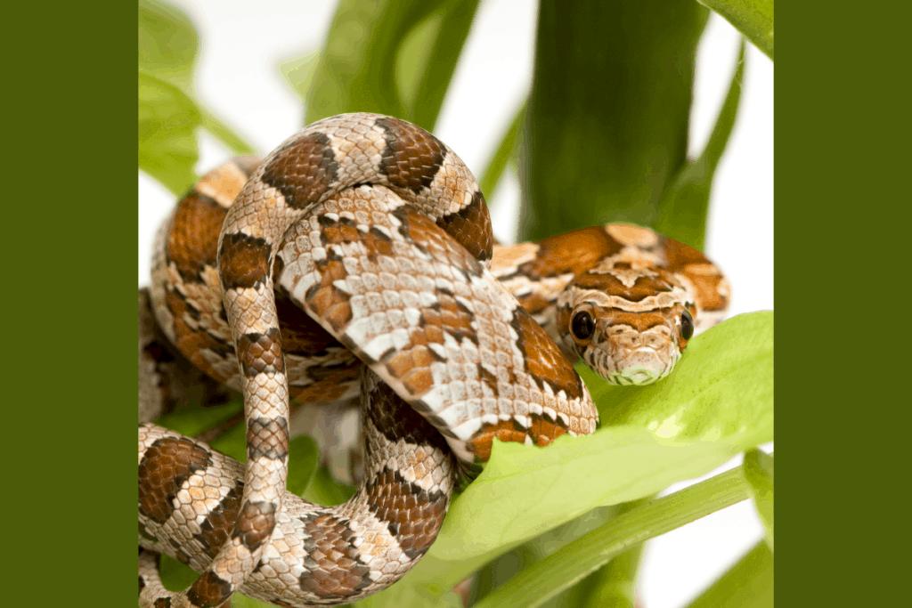 best corn snake morphs normal