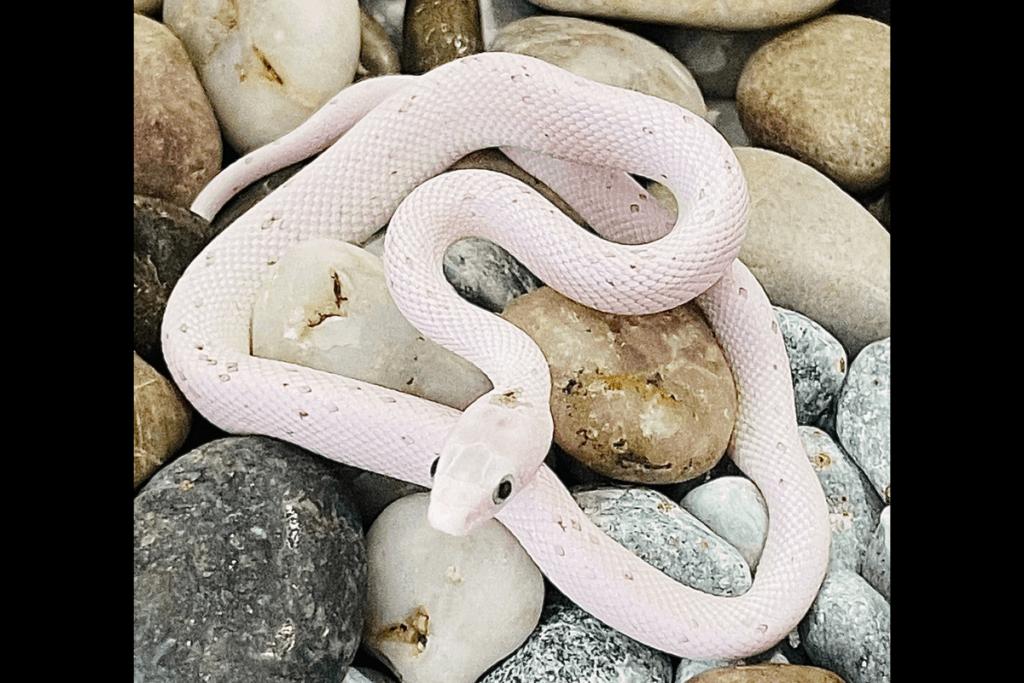best corn snake morphs palmetto