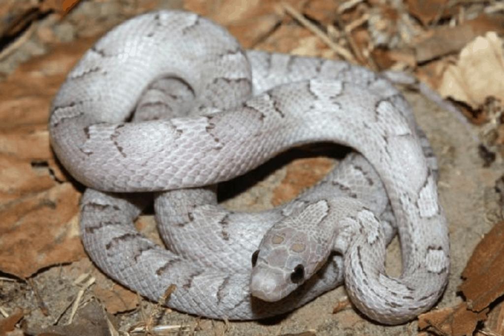 best corn snake morphs pewter