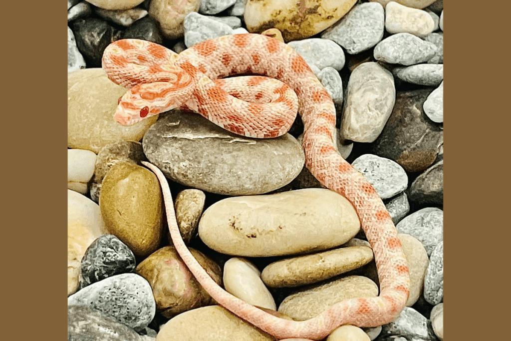 best corn snake morphs reverse okeetee