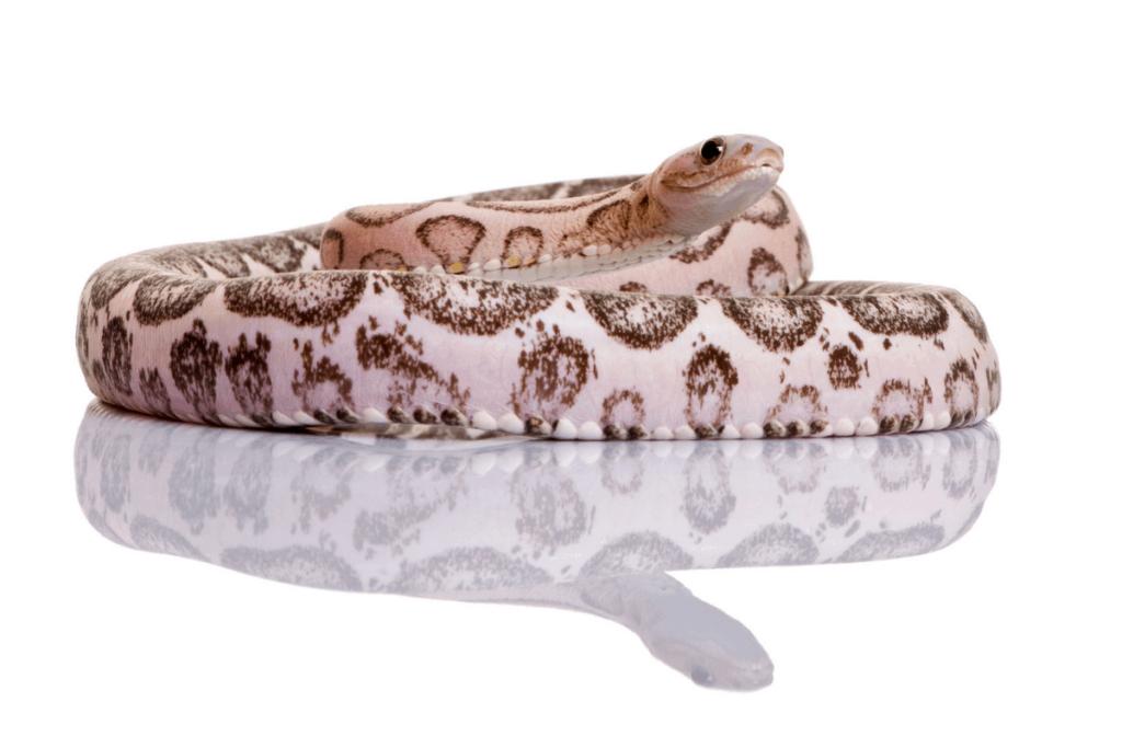 best corn snake morphs scaleless