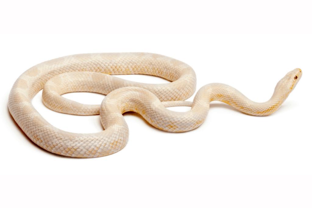 best corn snake morphs snow