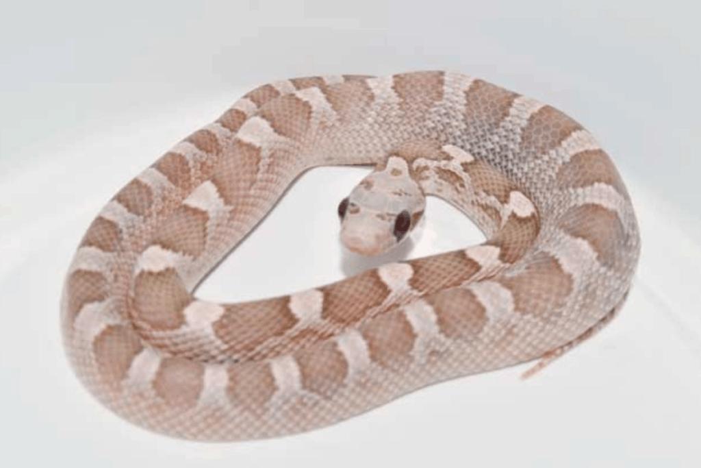 best corn snake morphs strawberry