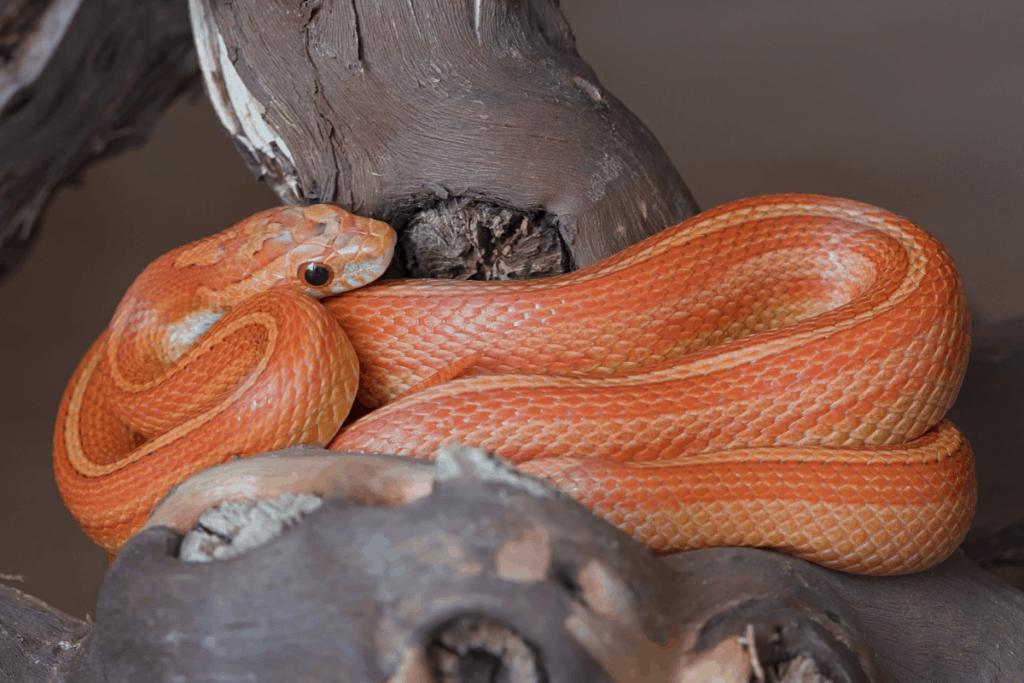 best corn snake morphs stripe
