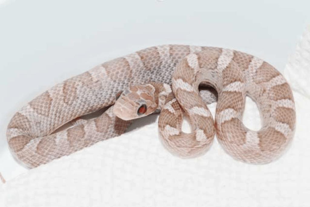 best corn snake morphs ultramel