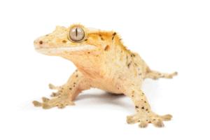 best crested gecko foods 1