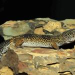 heat rock for leopard gecko 1