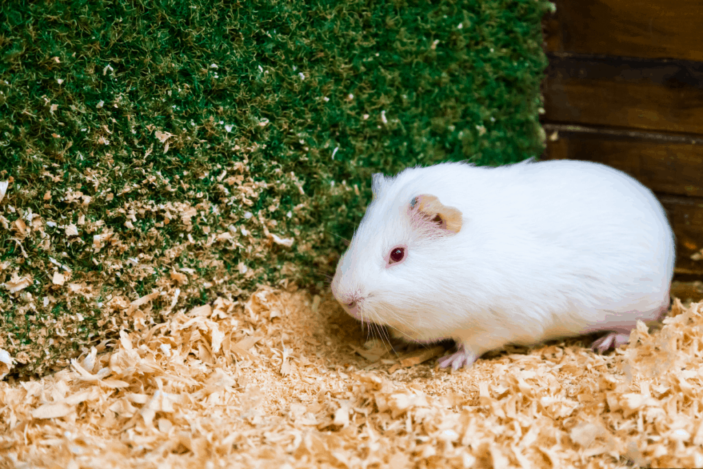 how to clean a guinea pig cage
